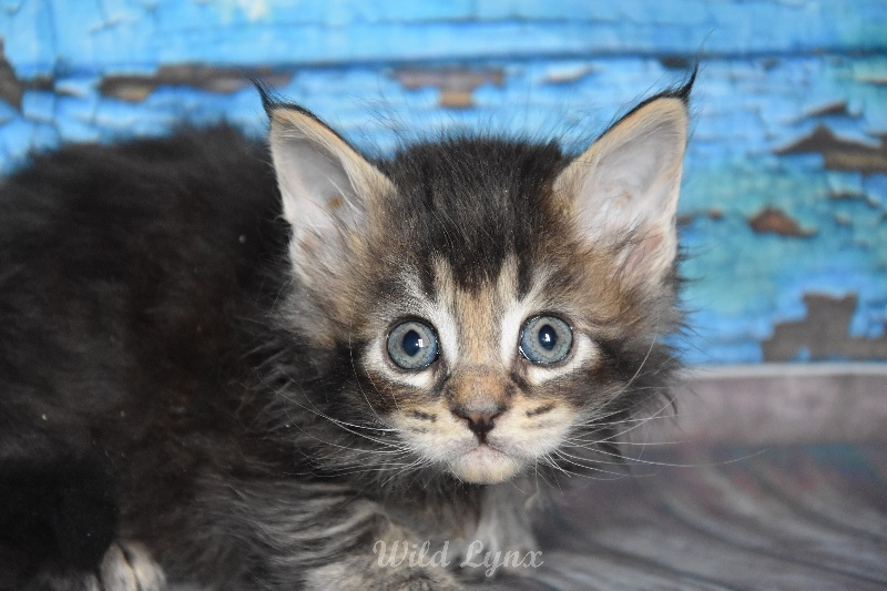 brown ticked tabby (collier marron clair) -