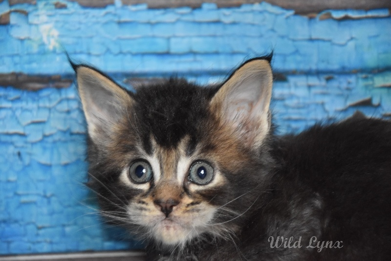 brown ticked tabby (collier marron clair)