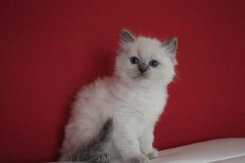 CHATON blue colorpoint