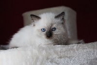 CHATON seal colorpoint - Ragdoll