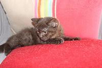 CHATON male 2 chocolat - British Shorthair et Longhair