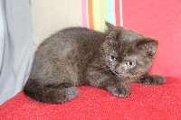 CHATON male 1 chocolat - British Shorthair et Longhair