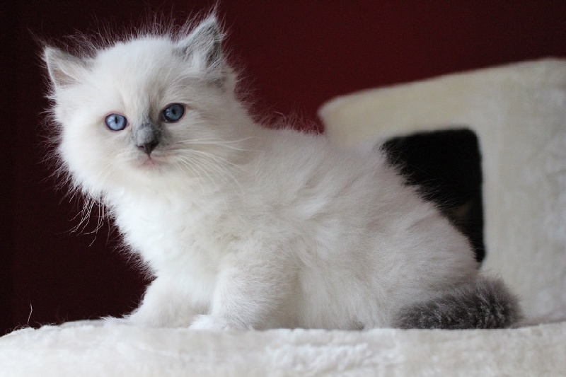 CHATON blue mitted