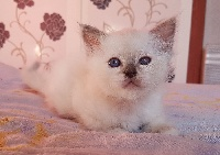 D'éden-Blue - Chaton disponible  - Sacré de Birmanie