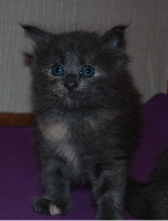de Katoochat - Chaton disponible  - Maine Coon