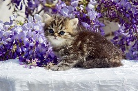 persan - Exotic Shorthair
