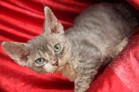 of my dream's cats - Chaton disponible  - Devon Rex