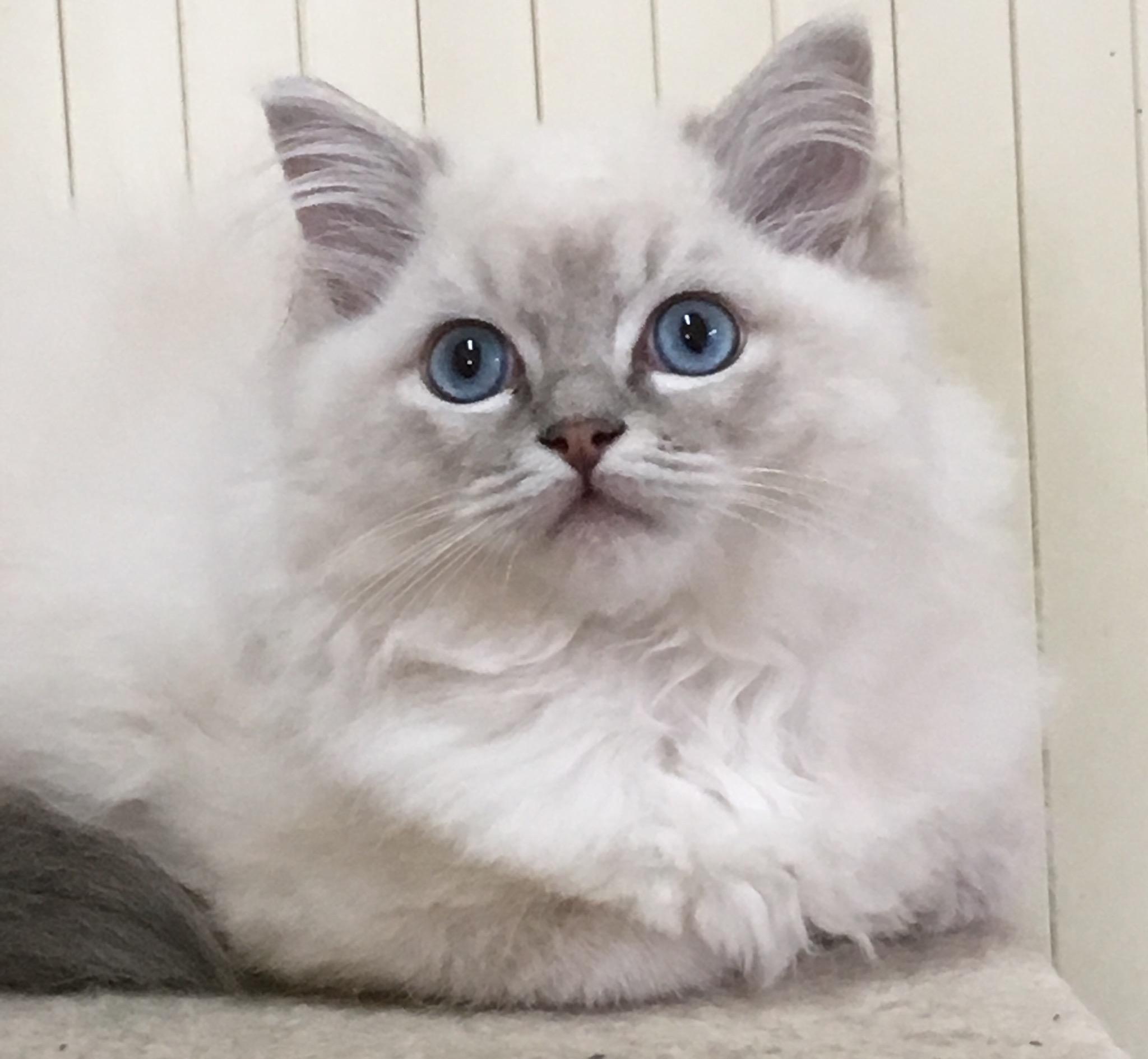 chaton Ragdoll de la Fuzellière