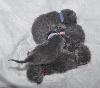 des Bleus de Houna - Hermine 5 chatons Chartreux le 12 mars 2014