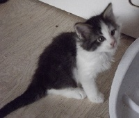 Du Chatterie Gave - Chaton disponible  - Norvégien