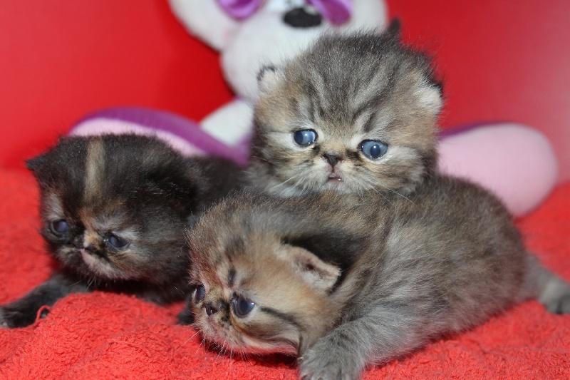 chaton Persan des Amours de Nat