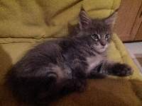 Du Royaume De Doug - Chaton disponible  - Maine Coon