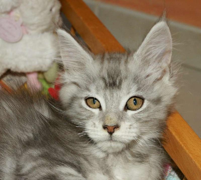 chaton Maine Coon de la croix lorraine