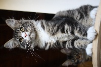 Little Big Horn's - Chaton disponible  - Maine Coon
