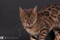 Magic Bengal - Chaton disponible  - Bengal