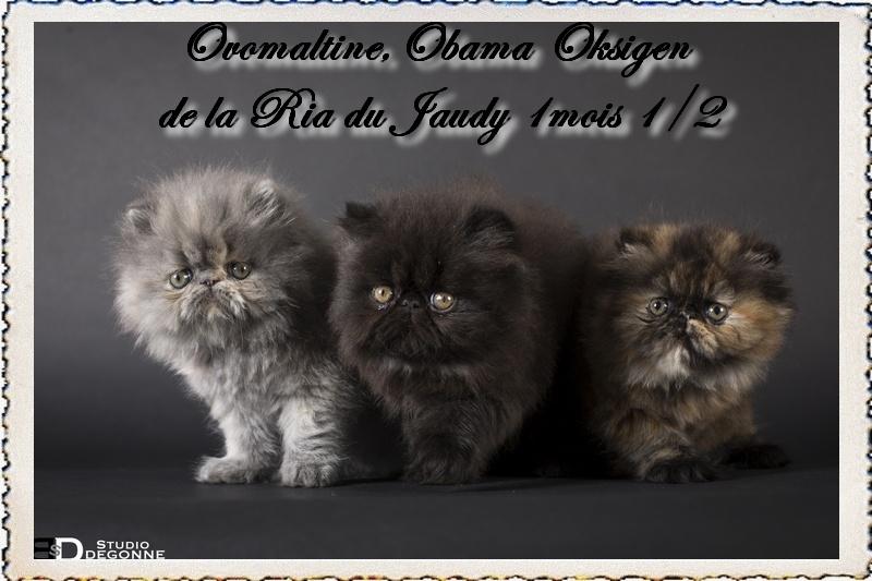 chaton Persan La Ria Du Jaudy