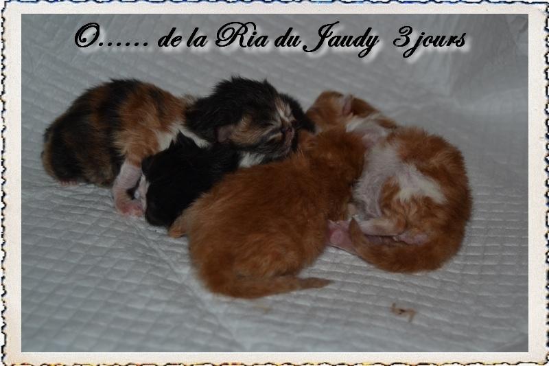 La Ria Du Jaudy - Persan - Portée née le 02/07/2018