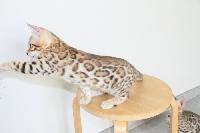 OWI - Bengal