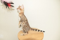 Arckatz - Chaton disponible  - Bengal