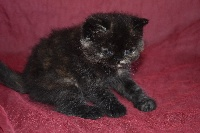 Du Royaume D'olympe - Chaton disponible  - Exotic Shorthair