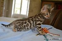 Puma - Bengal