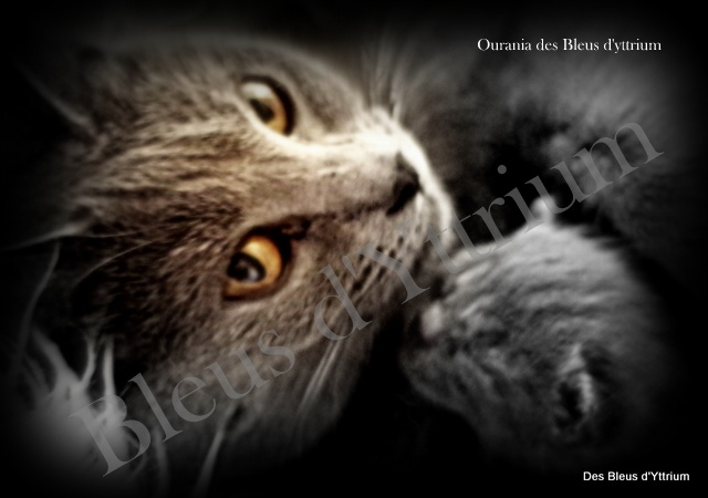 chaton Chartreux Des Bleus D'yttrium