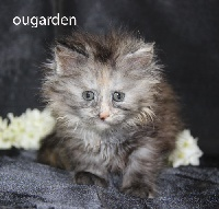 Black Draco's - Chaton disponible  - Maine Coon