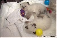 Catplay - Sibérien - Portée née le 20/05/2013