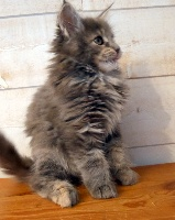 OOMA D 'AIGREFEUILLE - Maine Coon