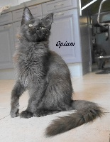 OPIUM D'AIGREFEUILLE - Maine Coon