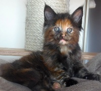 Patayan - Chaton disponible  - Maine Coon