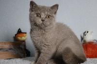 PAPRIKA - British Shorthair et Longhair