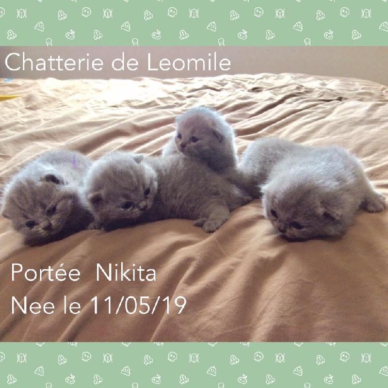 De Léomile - Chaton disponible  - British Shorthair et Longhair