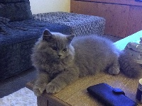 De Léomile - Chaton disponible  - British Shorthair et Longhair