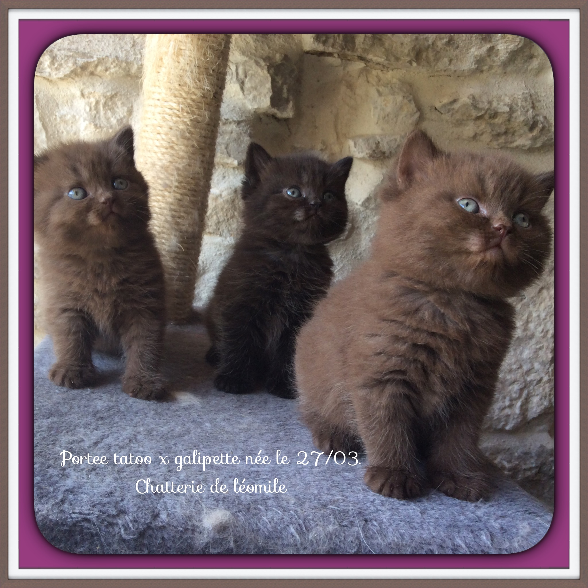 chaton British Shorthair et Longhair De Léomile