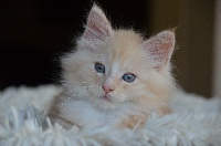 La Maison Fleurie - Chaton disponible  - Maine Coon