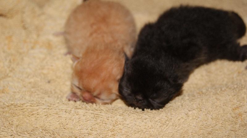 chaton Persan De La Forêt Noire