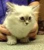 Gaberic's - Dernier chaton disponible !!!