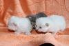 Gaberic's - Nouvelles photos des chatons !
