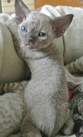 Collier rose - Devon Rex