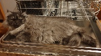 Renoncule-Radieuse - Selkirk Rex poil court et poil long