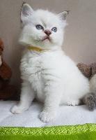 ROSE colier jaune - Ragdoll