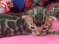 Bengale Bengal - Chaton disponible  - Bengal