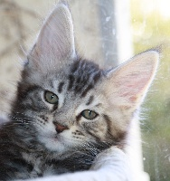 CHATON - Maine Coon