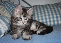 MALE 1 - Maine Coon
