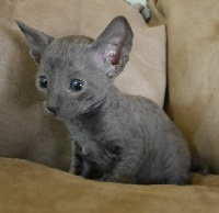 de Baudelaire - Chaton disponible  - Cornish Rex