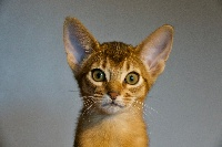 Abyfelis - Chaton disponible  - Abyssin