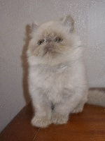 Love Me Sweet - Chaton disponible  - Persan