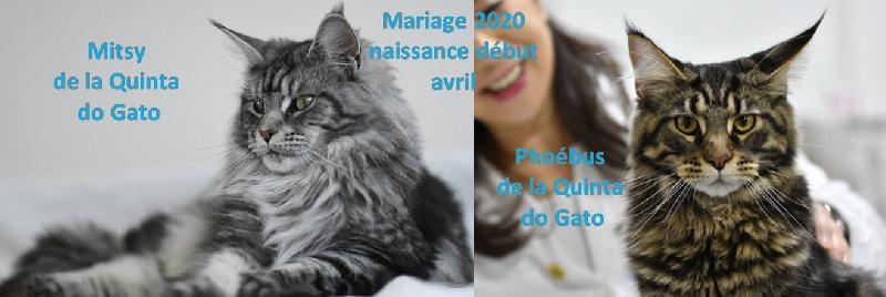 De La Quinta Do Gato - Maine Coon - Portée née le 05/04/2020