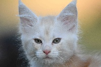 De La Quinta Do Gato - Chaton disponible  - Maine Coon